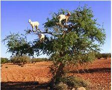 goat in tree